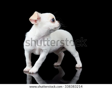 Puppy of Chihuahua on black reflecting background
