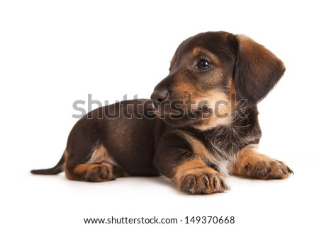 Puppy of dachshund. Isolated on white - stock photo