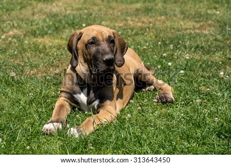 puppy of Fila Brasileiro (Brazilian Mastiff) outdoor on green grass - stock photo