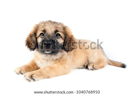puppy of golden retriever (shepherd) isolated on white background