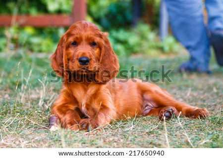 Puppy of irish setter laying with wooden bone - stock photo