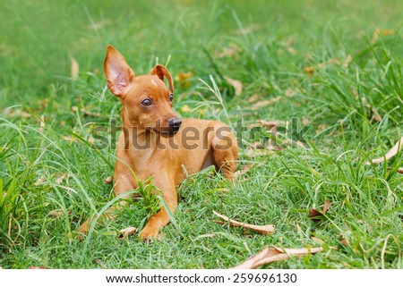 Puppy of Miniature Pinscher and pooch playing on green grass in yard. Selective focus
