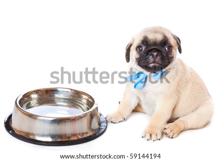 Puppy of pug near bowl. Isolated on white - stock photo