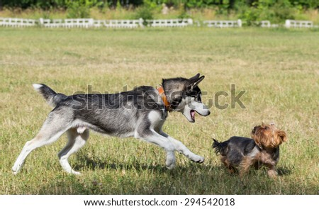Puppy of Siberian Husky  is chasing a small dog. Two dogs are playing in the park.