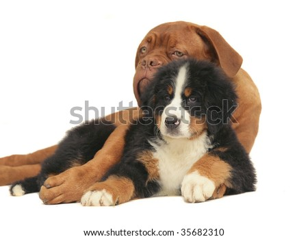 Puppy of the Bern sheepdog and mastiff on a white background.