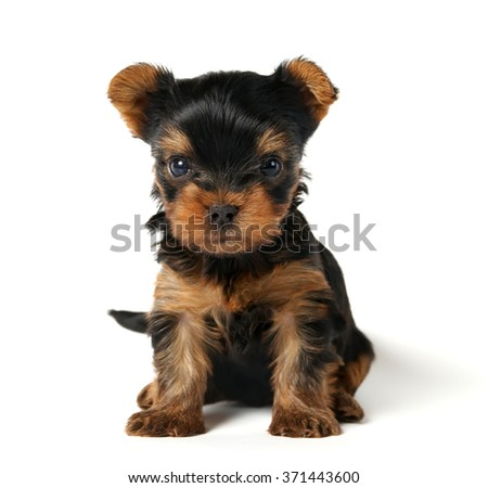 Puppy of the Yorkshire terrier looking into the camera - stock photo