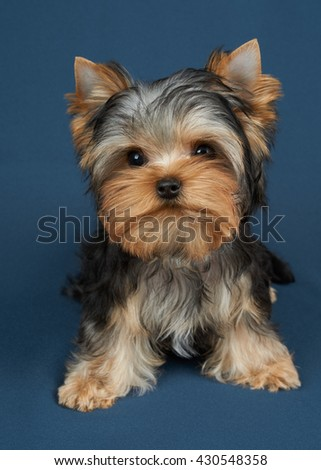 Puppy of the Yorkshire Terrier on blue textile background - stock photo