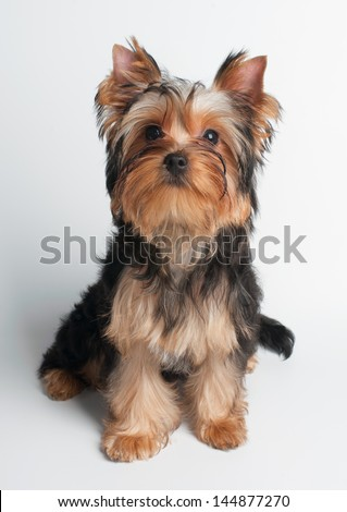 Puppy of the Yorkshire Terrier on simple white background - stock photo