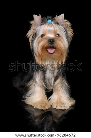 Puppy of the Yorkshire Terrier on the black background - stock photo