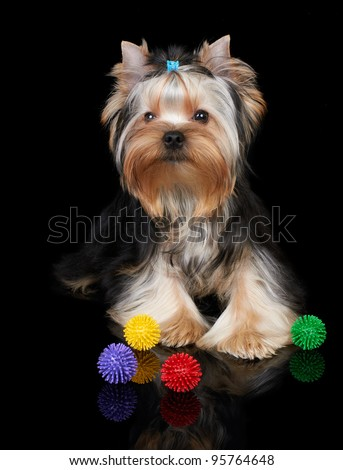 Puppy of the Yorkshire Terrier on the black background with toys