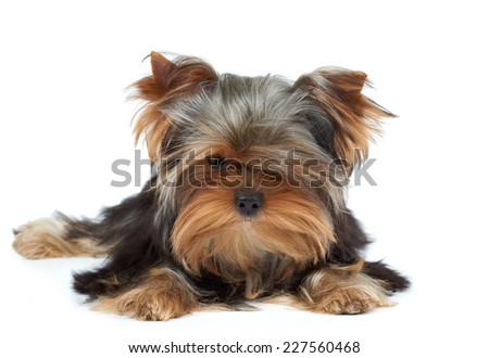 Puppy of the Yorkshire Terrier with black nose - stock photo