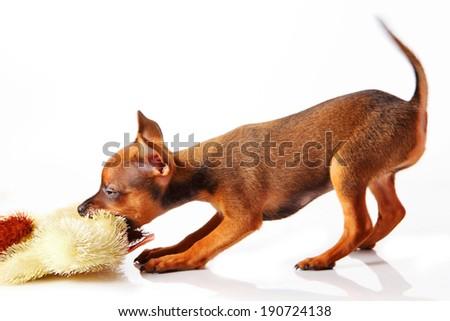 puppy of toyterrier - stock photo