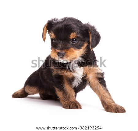 Puppy of Yorkshire Terrier isolated on the white (age 1 month)