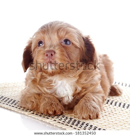 Puppy on a rug.  Puppy of a decorative doggie. Decorative dog. Puppy of the Petersburg orchid on a white background - stock photo