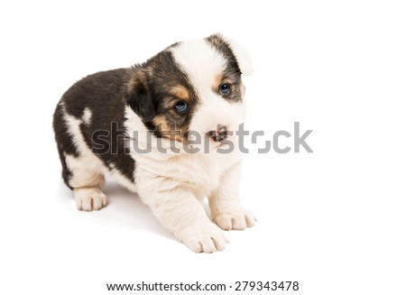 puppy on a white background - stock photo