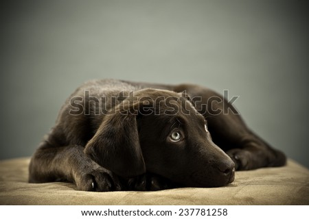 Puppy on ottoman - stock photo