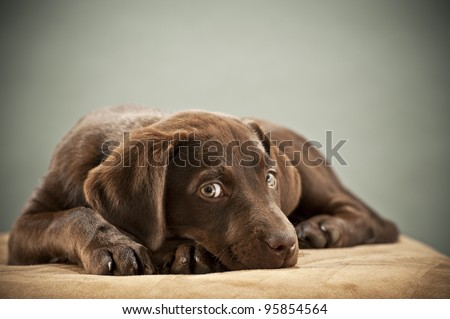 Puppy on ottoman with pity look - stock photo