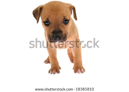 puppy  on the white background