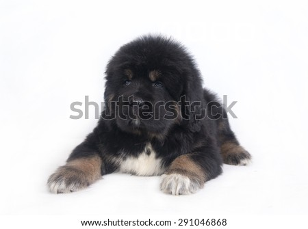 puppy on white background - stock photo