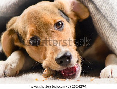 Puppy peeking out from under warm blanket. Selective focus - stock photo