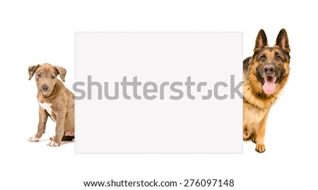 Puppy pit bull and a German Shepherd peeking from behind banner isolated on white background - stock photo