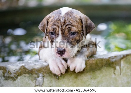 Puppy Pitbull dog getting a bath - stock photo