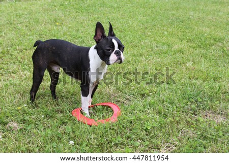 Puppy playing on grass - Boston Terrier, red frisbee