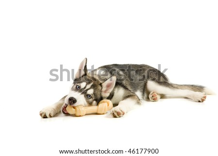 Puppy plays with his bone - stock photo
