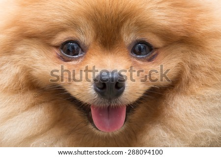 puppy pomeranian dog cute pets in home, close-up image - stock photo