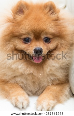 puppy pomeranian dog cute pets in home, close-up image