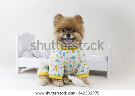 Puppy Pomeranian in pajamas getting ready for bed mini doll bed - stock photo