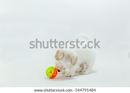 Puppy Poodle mix Shih Tzu on white background.