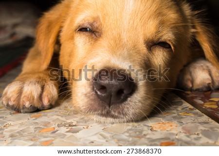 puppy portrait close-up cute dog dozing on floor - stock photo