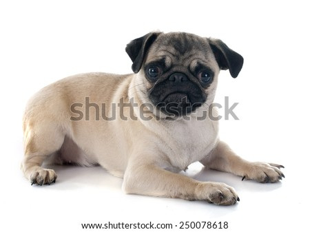 puppy pug in front of white background - stock photo