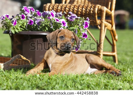Puppy Rhodesian Ridgeback - stock photo