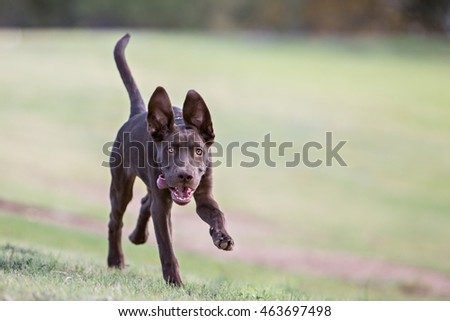 Puppy running at the camera with ears up