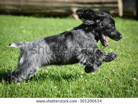 puppy running - blue roan english cocker puppy - 12 weeks old - stock photo