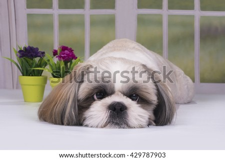 puppy shih tzu resting in a country house