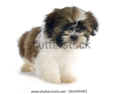 puppy shitzu in front of white background