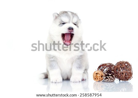 Puppy Siberian Huskies on a white background - stock photo