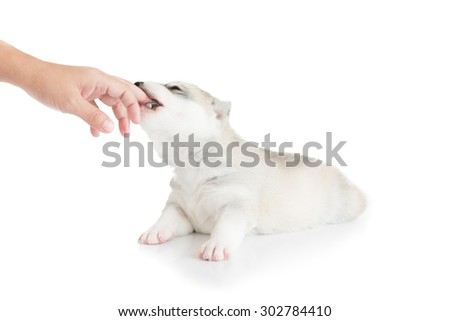 Puppy Siberian husky bite hand - stock photo