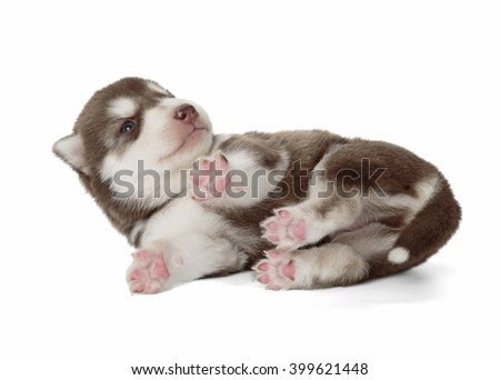 puppy Siberian husky isolated on white background