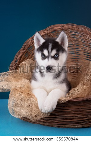 Puppy Siberian Husky on a blue background. Christmas Studio.