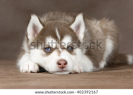 puppy Siberian husky on a brown background