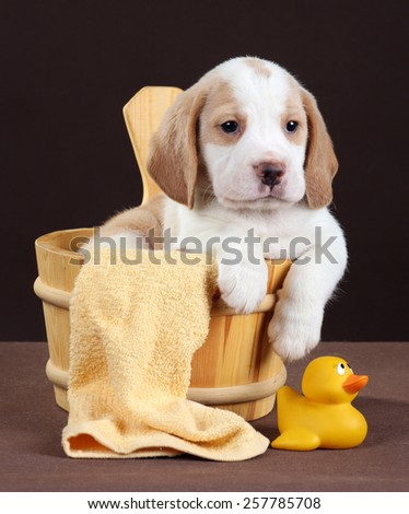 puppy sitting in a tub and a rubber ducky ready for his bath - stock photo