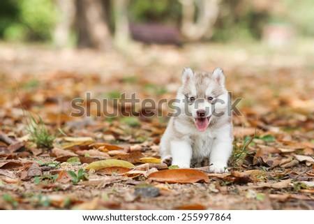 Puppy Sitting In the grass, siberian husky dog cute  - stock photo
