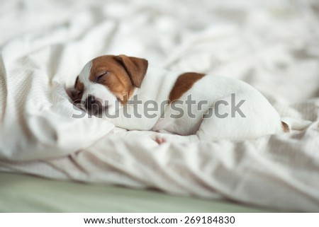 puppy sleeping on the bed - stock photo