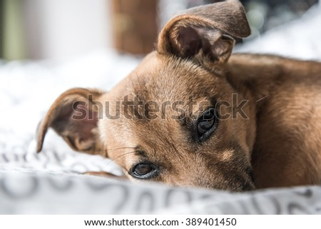 Puppy - small dog - ginger pet on bed - cute dog