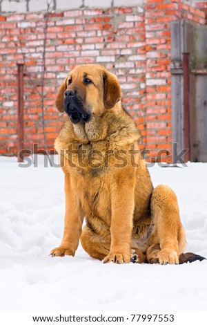 Puppy Spanish Mastiff sitting in snow against brick wall