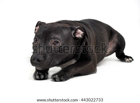 Puppy Staffordshire Bull Terrier in a white studio
